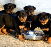 Puppy eating rottweiler 170x156 - Puppy Feeding - Our Top 10 Tips - Local Vet 2021