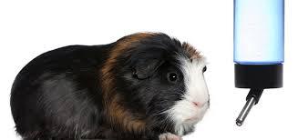 Guinea pig drinking water - Caring for your new Hamster?