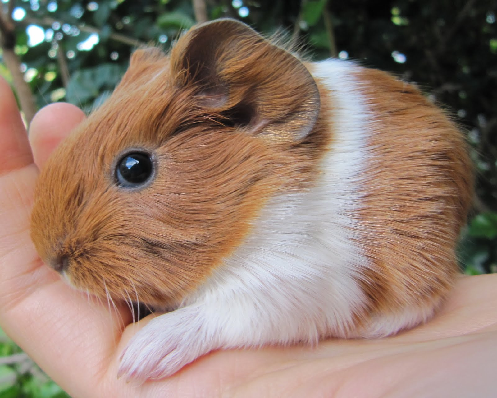 Caring for your new Guinea Pig