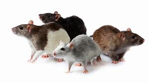 Pet rats - Keeping rats as pets